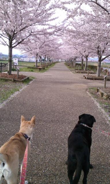 小野市 桜づつみ回廊
